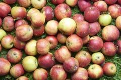 Le mele rosse di caduta si trova nell'erba Immagini Stock