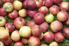 Le mele rosse di caduta si trova nell'erba Fotografia Stock