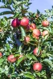 Le mele rosse si sviluppano su un ramo contro cielo blu Fotografie Stock Libere da Diritti