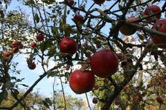 Le mele rosse sono in un giardino Fotografia Stock