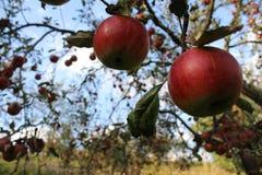 Le mele rosse sono in un giardino Fotografie Stock