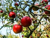 Le mele rosse sono in un giardino Fotografia Stock Libera da Diritti