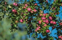 Le mele rosse su di melo si ramificano nel giardino fotografie stock