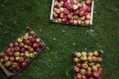Le mele in una scatola di legno nella caduta fanno il giardinaggio Fotografie Stock