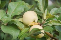 Le mele verdi si sviluppano Le mele si sviluppano in un giardino Immagini Stock Libere da Diritti