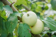Le mele verdi si sviluppano Le mele si sviluppano in un giardino Fotografia Stock