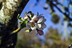 Le mellifera d'api d'abeille de miel plonge profondément dans la fleur d'un domestica de Malus de pommier pour rassembler le nect image stock