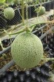 Le melon est cultivé en serres chaudes Photo libre de droits