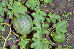 Le melon plante les feuilles et la terre Images stock