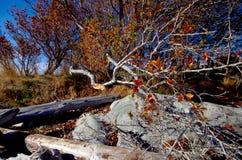 Le membre cassé de l'arbre dans la chute colore le penchement sur la plage aux bétail se dirigent, AVANT JÉSUS CHRIST Image stock