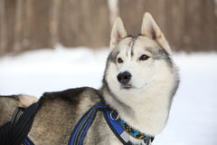 Le meneur d'équipe de chien écoute centre serveur Images libres de droits