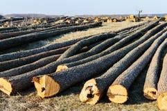 Le mensonge abattu d'arbres au sol Grands rondins - troncs épluchés des branches Photo libre de droits