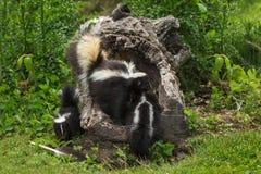 Le mephitis de Mephitis de mouffette rayée de mère traîne Kit Into Log images stock
