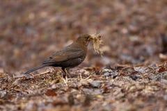 Le merle commun recueille l'herbe pour le nid Photos libres de droits