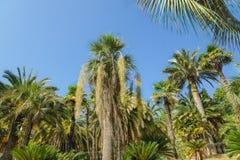 Le Mexicain a armé le latin, armata d'Erythea un fruit subtropical en vieux parc Photo stock