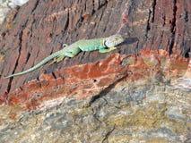 Le Mexicain Bleu-a colleté le lézard (dickersonae de Crotaphytus) sur un identifiez-vous pétrifié Arizona photo libre de droits