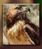 Le Mexique Hawk In Nuevo Vallarta Image stock