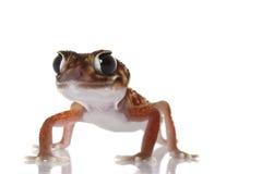 le midline de molette de gecko a suivi photographie stock