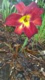 Le mie rose Fotografie Stock
