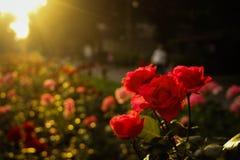 Le mie rose rosse Fotografia Stock Libera da Diritti