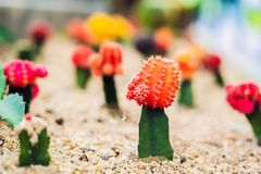 Le mihanovichii de cactus ou de Gymnocalycium de lune, le cactus de mutant a greffé dessus fond de plan rapproché de rhizome de H photos stock