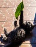 Le minou animal est joué Images libres de droits