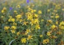 Le moût de St John - herbe éternelle dans l'étape de floraison photo stock