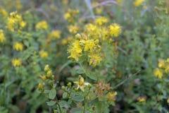 Le moût de St John - herbe éternelle dans l'étape de floraison images stock