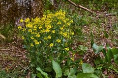 le moût St John jaune de plante médicinale de véritable Perforatum de Hypericum image libre de droits