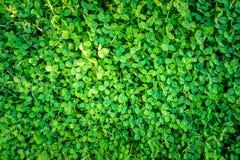 Le modèle extérieur vert du trèfle pousse des feuilles d'en haut Image stock