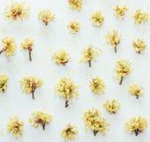 Le modèle floral avec le cornouiller jaune fleurit sur un fond blanc Image libre de droits