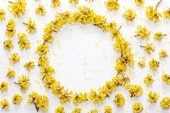 Le modèle floral avec le jaune fleurit le cornouiller avec l'espace vide pour le texte sur a sur le fond blanc Photo stock