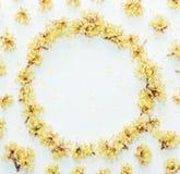 Le modèle floral avec le jaune fleurit le cornouiller avec l'espace vide pour le texte sur a sur le fond blanc Photographie stock