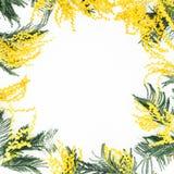 Le modèle floral de la mimosa s'embranche sur le fond blanc Configuration plate, vue supérieure Photo stock