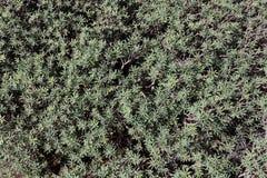 Le modèle floral vert de l'euphorbe part du balsamifera d'euphorbe image libre de droits