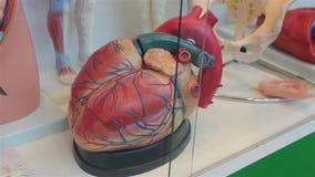 Le modèle humain de coeur banque de vidéos