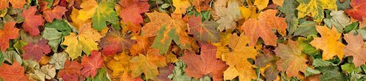 Le modèle saisonnier coloré de fond d'automne, tapis vibrant de forêt tombée part image stock