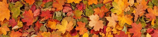 Le modèle saisonnier coloré de fond d'automne, tapis vibrant de forêt tombée part photos libres de droits