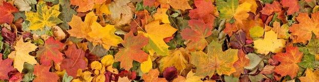 Le modèle saisonnier coloré de fond d'automne, tapis vibrant de forêt tombée part images libres de droits