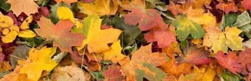 Le modèle saisonnier coloré de fond d'automne, tapis vibrant de forêt tombée part photographie stock