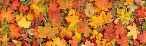 Le modèle saisonnier coloré de fond d'automne, tapis vibrant de forêt tombée part photos stock