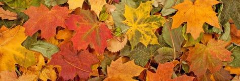 Le modèle saisonnier coloré de fond d'automne, tapis vibrant de forêt tombée part image libre de droits