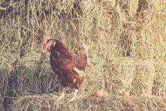 Le mode de vie de la ferme dans la campagne, poules hachent Images libres de droits