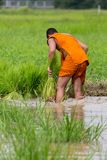 Le moine local travaillant dans la ferme de riz Images libres de droits