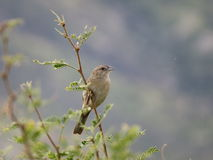 Le moineau de Botteri Photo stock