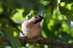Le moineau mignon sur la branche de chêne Image stock