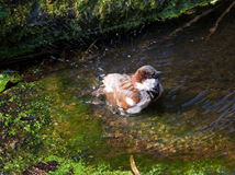Le moineau prend un bain Photo libre de droits
