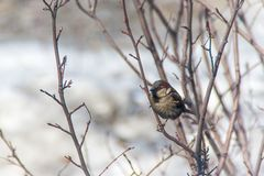 Le moineau sautant sur une branche, hiver, oiseaux sont affamé photos stock