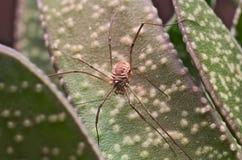 Le moissonneur de Brown (Opiliones) a trouvé sur une feuille verte Photographie stock