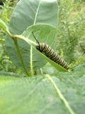 Le monarque Caterpillar sur le Milkweed plantent photo stock